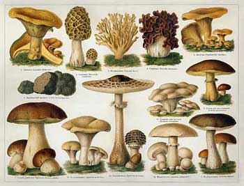 Edible Mushroom Identification Pictures http://morgue.anglicansonline.org/060806/