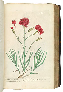 An early hand-coloured engraving of a carnation