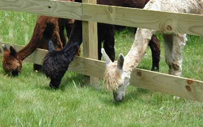 Alpacas eating greener grass