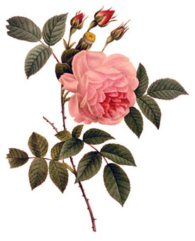 Redoute rose indica